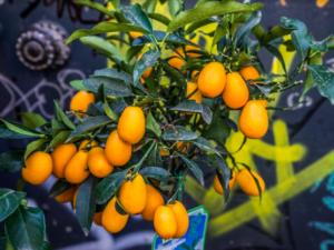 апельсины в Барселоне